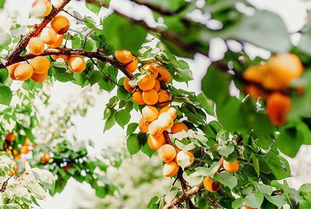 Dried Apricot Nutrition The Secret Truth Apricot Power